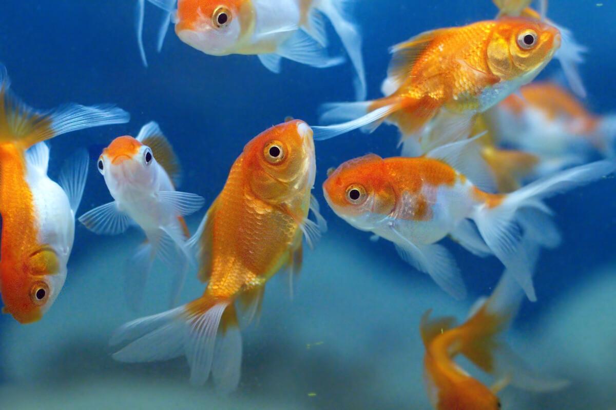 <p>I perioder hvor fisk færdes i et ensformigt ukompliceret miljø, kan deres hjerner skrumpe. Foto: Liu Jin, Scanpix</p> Foto: